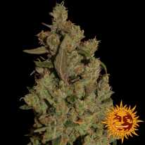 CBD Critical Cure Feminised