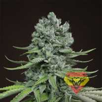 Auto Super Skunk Feminised