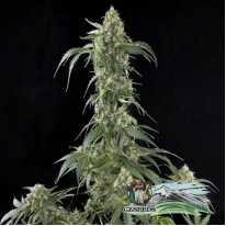 Auto White Widow Feminised