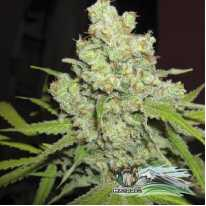 Auto Big Bud Feminised