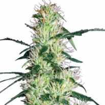 Early Durban Feminised - JAH Seeds