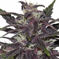 Purple Kush Feminised