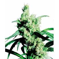 Silver Haze Feminised