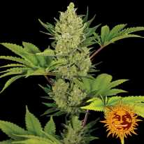 Auto Blue Cheese Feminised