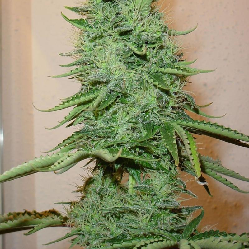 Big Bud Feminised (поштучно) Феминизированные семена конопли