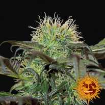 Bad Azz Kush feminized