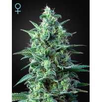 Auto White Widow CBD Feminised семена конопли