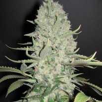 Big Bud Feminised семена конопли