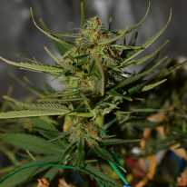 Auto Blueberry Cake Feminised
