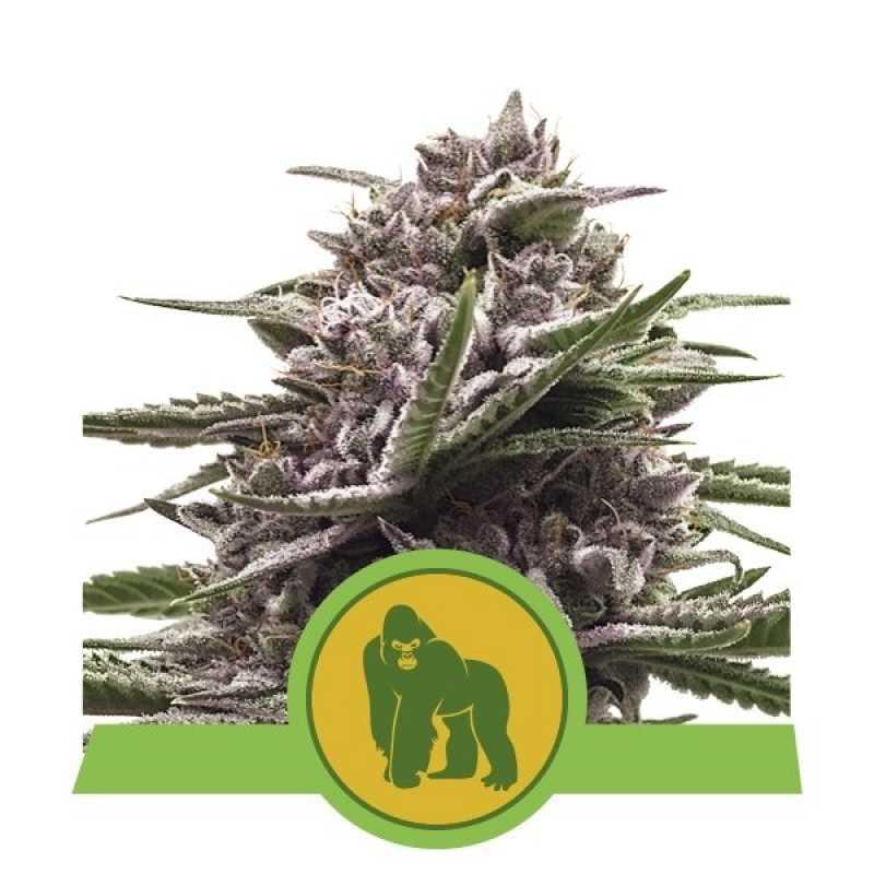 Royal Gorilla Automatic Feminised Автоцветущие феминизированные семена конопли