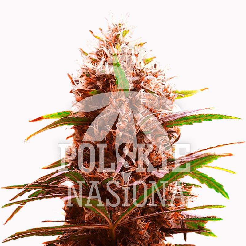 Автоцветущие феминизированные семена конопли  семена конопли AUTO BLOODY MARY FEMINISED семена конопли