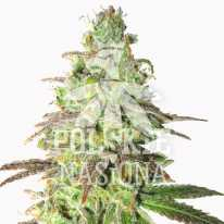 AUTO BLUEBERRY PIE FEMINISED