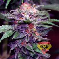 Auto Purple Spain Feminised семена конопли