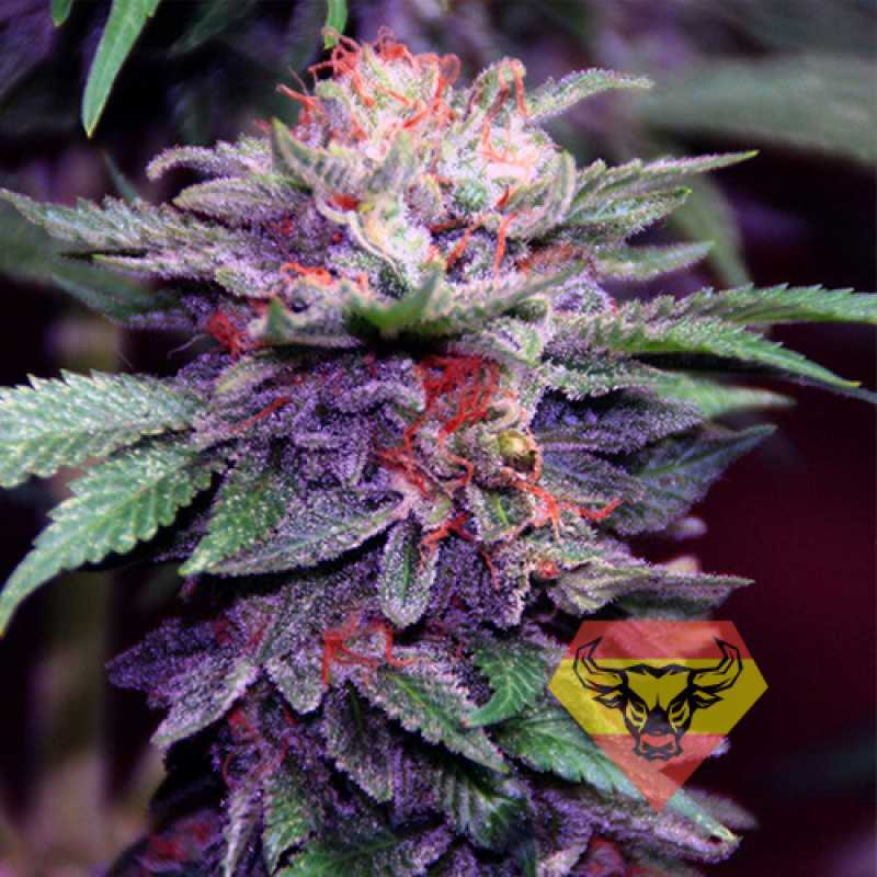 Auto Purple Spain Feminised Автоцветущие феминизированные семена конопли