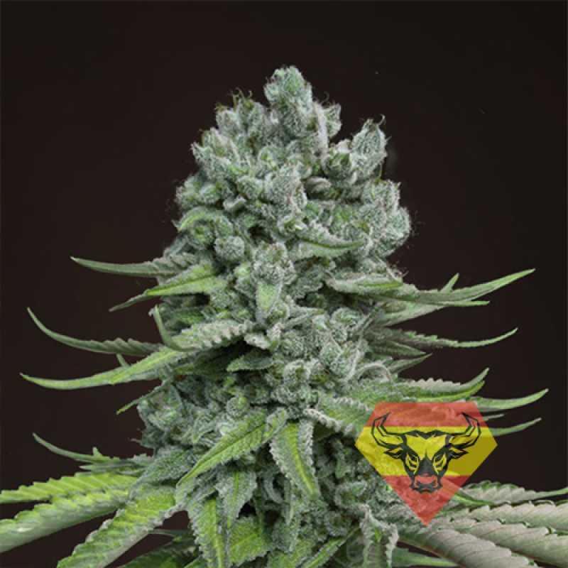Автоцветущие феминизированные  семена конопли Auto Super Skunk Feminised семена конопли