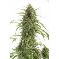 Auto White Widow XXL Feminised семена конопли