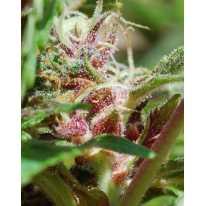 Red Purps Feminised семена конопли