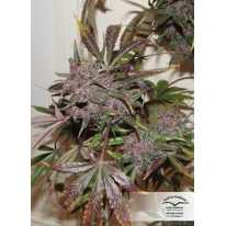 Auto Blackberry Kush feminised семена конопли