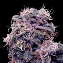 Auto Blueberry Feminised