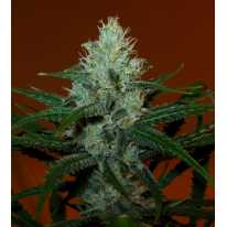 Lemon Haze Feminised (поштучно) семена конопли