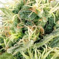 Auto Northern Lights Feminised - Carpathians Seeds