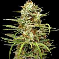 Auto White Widow Feminised - Carpathians Seeds семена конопли