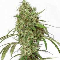 Amnesia Feminised - Ganja Seeds семена конопли