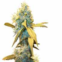 Northern Lights Feminised - Ganja Seeds семена конопли