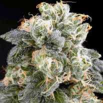 Silver Haze  семена конопли