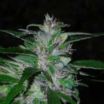 Auto Super Cali Haze Feminised