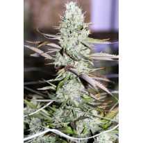 Auto Opium XL Feminised (поштучно) семена конопли