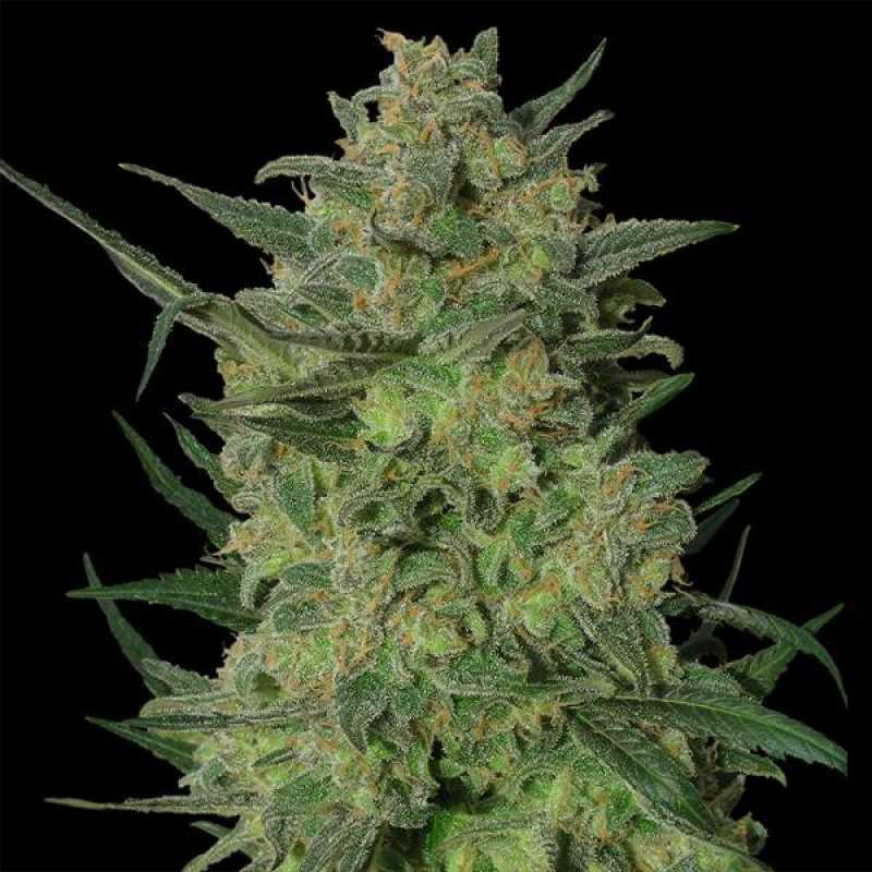 Купить семена марихуану украина конопля для лечения эпилепсии