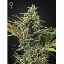 Auto Super Lemon Haze CBD Feminised семена конопли