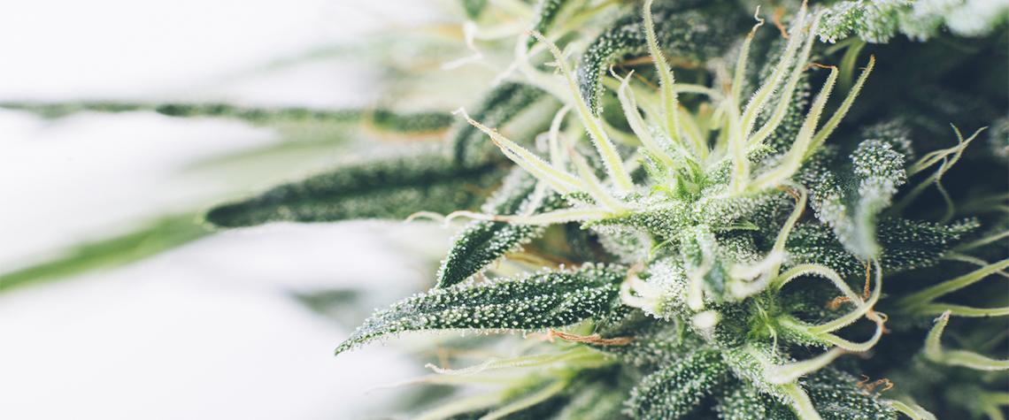 Феминизированные семена марихуаны