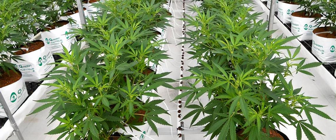 Микроудобрения для конопли медицинская марихуана зачем